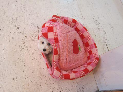 ビションフリーゼフントヒュッテ東京子犬こいぬかわいいビションフリーゼのいるお店文京区駒込ペットサロンhundehutteトリミングビションBichon Friseフランスの犬白い犬295.jpg