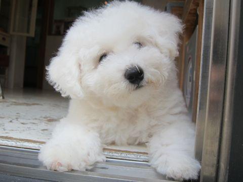 ビションフリーゼフントヒュッテ東京子犬こいぬかわいいビションフリーゼのいるお店文京区駒込ペットサロンhundehutteトリミングビションBichon Friseフランスの犬白い犬300.jpg