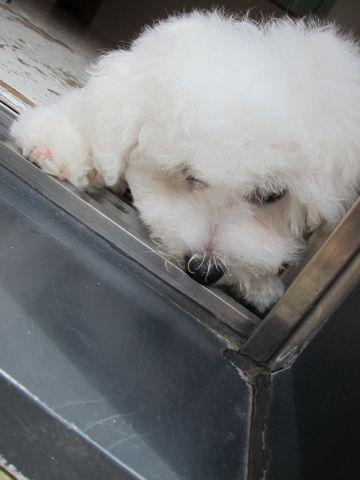 ビションフリーゼフントヒュッテ東京子犬こいぬかわいいビションフリーゼのいるお店文京区駒込ペットサロンhundehutteトリミングビションBichon Friseフランスの犬白い犬301.jpg