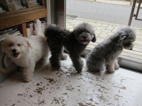 ビションフリーゼフントヒュッテ東京子犬こいぬかわいいビションフリーゼのいるお店文京区駒込ペットサロンhundehutteトリミングビションBichon Friseフランスの犬白い犬303.jpg