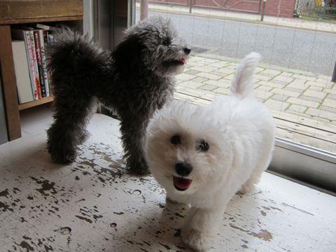 ビションフリーゼフントヒュッテ東京子犬こいぬかわいいビションフリーゼのいるお店文京区駒込ペットサロンhundehutteトリミングビションBichon Friseフランスの犬白い犬304.jpg