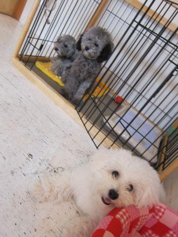 ビションフリーゼフントヒュッテ東京子犬こいぬかわいいビションフリーゼのいるお店文京区駒込ペットサロンhundehutteトリミングビションBichon Friseフランスの犬白い犬305.jpg