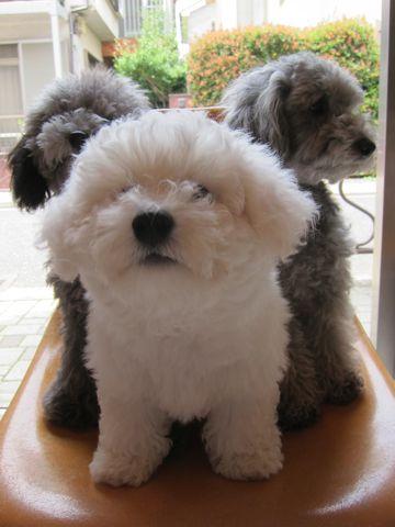 ビションフリーゼフントヒュッテ東京子犬こいぬかわいいビションフリーゼのいるお店文京区駒込ペットサロンhundehutteトリミングビションBichon Friseフランスの犬白い犬308.jpg