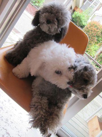 ビションフリーゼフントヒュッテ東京子犬こいぬかわいいビションフリーゼのいるお店文京区駒込ペットサロンhundehutteトリミングビションBichon Friseフランスの犬白い犬310.jpg