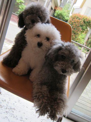 ビションフリーゼフントヒュッテ東京子犬こいぬかわいいビションフリーゼのいるお店文京区駒込ペットサロンhundehutteトリミングビションBichon Friseフランスの犬白い犬311.jpg