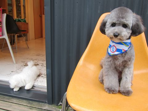 ビションフリーゼフントヒュッテ東京子犬こいぬかわいいビションフリーゼのいるお店文京区駒込ペットサロンhundehutteトリミングビションBichon Friseフランスの犬白い犬312.jpg