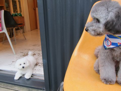 ビションフリーゼフントヒュッテ東京子犬こいぬかわいいビションフリーゼのいるお店文京区駒込ペットサロンhundehutteトリミングビションBichon Friseフランスの犬白い犬313.jpg