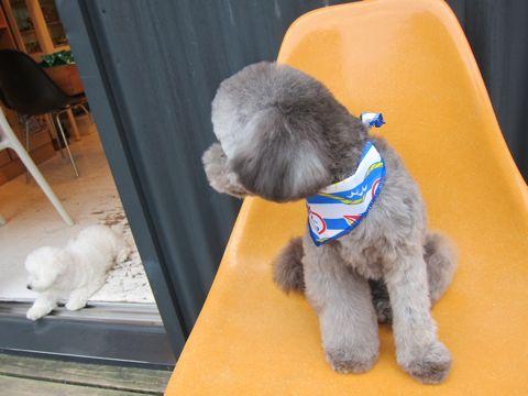 ビションフリーゼフントヒュッテ東京子犬こいぬかわいいビションフリーゼのいるお店文京区駒込ペットサロンhundehutteトリミングビションBichon Friseフランスの犬白い犬316.jpg