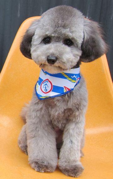 ビションフリーゼフントヒュッテ東京子犬こいぬかわいいビションフリーゼのいるお店文京区駒込ペットサロンhundehutteトリミングビションBichon Friseフランスの犬白い犬317.jpg