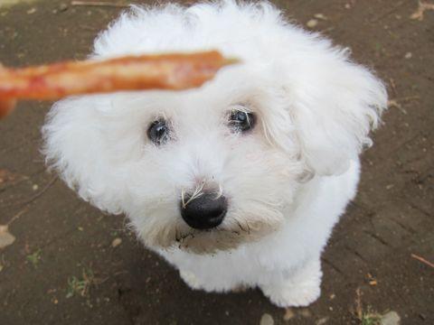 ビションフリーゼフントヒュッテ東京子犬こいぬかわいいビションフリーゼのいるお店文京区駒込ペットサロンhundehutteトリミングビションBichon Friseフランスの犬白い犬318.jpg