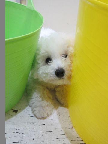 ビションフリーゼフントヒュッテ東京子犬こいぬかわいいビションフリーゼのいるお店文京区駒込ペットサロンhundehutteトリミングビションBichon Friseフランスの犬白い犬319.jpg