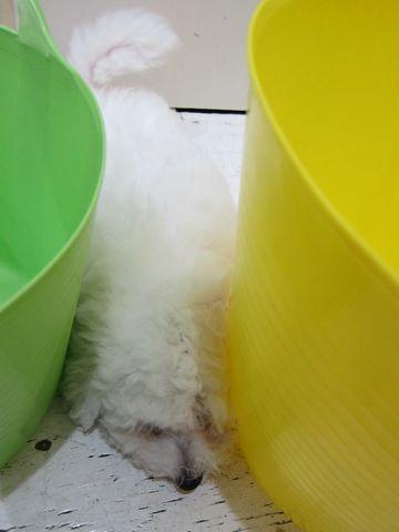 ビションフリーゼフントヒュッテ東京子犬こいぬかわいいビションフリーゼのいるお店文京区駒込ペットサロンhundehutteトリミングビションBichon Friseフランスの犬白い犬320.jpg
