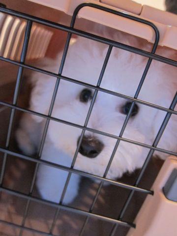 ビションフリーゼフントヒュッテ東京子犬こいぬかわいいビションフリーゼのいるお店文京区駒込ペットサロンhundehutteトリミングビションBichon Friseフランスの犬白い犬322.jpg