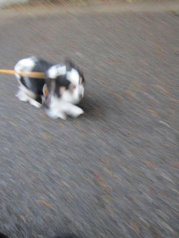 チワワトリミング文京区フントヒュッテナノオゾンペットシャワー使用トリミングサロン本駒込チワワサマーカット犬のトリミングhundehutte東京チワワシャンプー都内3.jpg