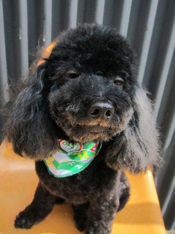 トイ・プードルトリミング文京区トイプードルカットモデル東京フントヒュッテ犬トイプードル耳を伸ばしたカットスタイル駒込hundehutteトイプードルブラック4.jpg