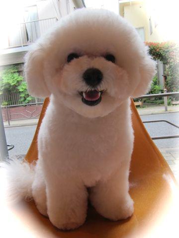 ビションフリーゼトリミング文京区フントヒュッテトリミングサロン東京ビションフリーゼカットスタイルモデル犬ハーブパック効果ペットサロン駒込犬歯磨き70.jpg