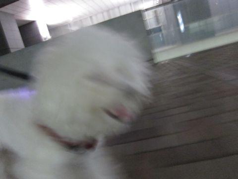 ホテル犬おあずかりペットホテル文京区ビションフリーゼトリミングフントヒュッテ東京トリミングサロンビションカット関東hundehutteかわいいビション51.jpg