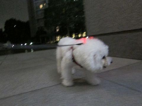 ホテル犬おあずかりペットホテル文京区ビションフリーゼトリミングフントヒュッテ東京トリミングサロンビションカット関東hundehutteかわいいビション80.jpg
