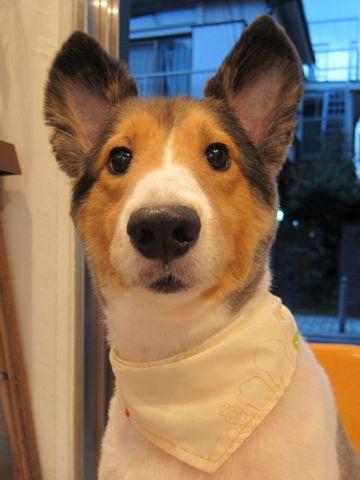シェットランドシープドッグトリミング文京区フントヒュッテ東京hundehutteシェルティサマーカット犬暑さ対策シェットランド・シープドッグカットShetland Sheepdog7.jpg