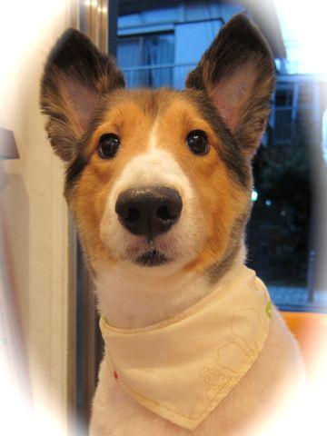 シェットランドシープドッグトリミング文京区フントヒュッテ東京hundehutteシェルティサマーカット犬暑さ対策シェットランド・シープドッグカットShetland Sheepdog8.jpg
