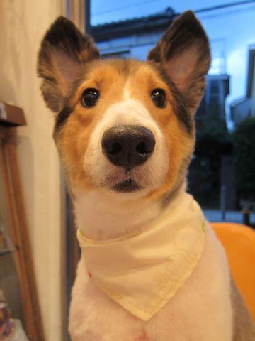 シェットランドシープドッグトリミング文京区フントヒュッテ東京hundehutteシェルティサマーカット犬暑さ対策シェットランド・シープドッグカットShetland Sheepdog9.jpg