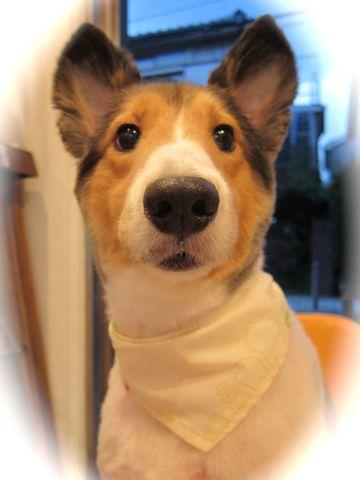 シェットランドシープドッグトリミング文京区フントヒュッテ東京hundehutteシェルティサマーカット犬暑さ対策シェットランド・シープドッグカットShetland Sheepdog10.jpg