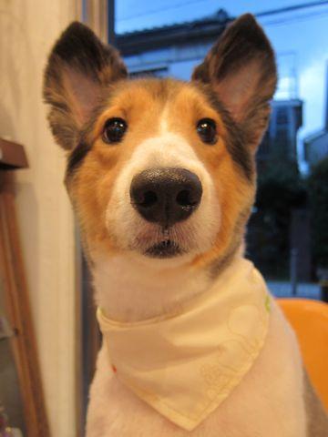 シェットランドシープドッグトリミング文京区フントヒュッテ東京hundehutteシェルティサマーカット犬暑さ対策シェットランド・シープドッグカットShetland Sheepdog11.jpg