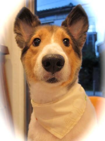 シェットランドシープドッグトリミング文京区フントヒュッテ東京hundehutteシェルティサマーカット犬暑さ対策シェットランド・シープドッグカットShetland Sheepdog12.jpg