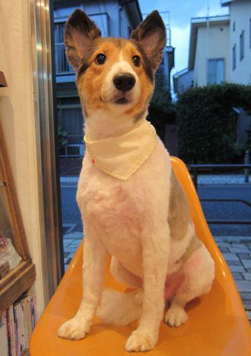 シェットランドシープドッグトリミング文京区フントヒュッテ東京hundehutteシェルティサマーカット犬暑さ対策シェットランド・シープドッグカットShetland Sheepdog13.jpg