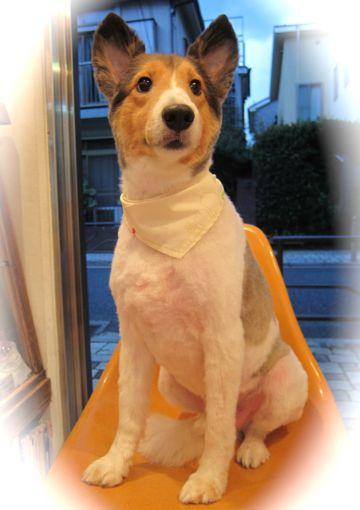 シェットランドシープドッグトリミング文京区フントヒュッテ東京hundehutteシェルティサマーカット犬暑さ対策シェットランド・シープドッグカットShetland Sheepdog14.jpg
