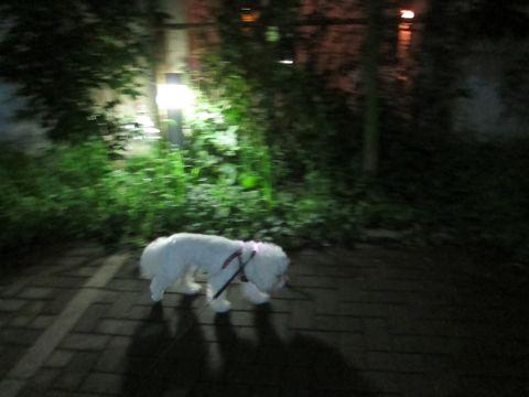ホテル犬おあずかりペットホテル文京区ビションフリーゼトリミングフントヒュッテ東京トリミングサロンビションカット関東hundehutteかわいいビション112.jpg