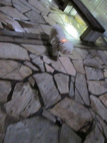 ホテル犬おあずかりペットホテル文京区ビションフリーゼトリミングフントヒュッテ東京トリミングサロンビションカット関東hundehutteかわいいビション119.jpg