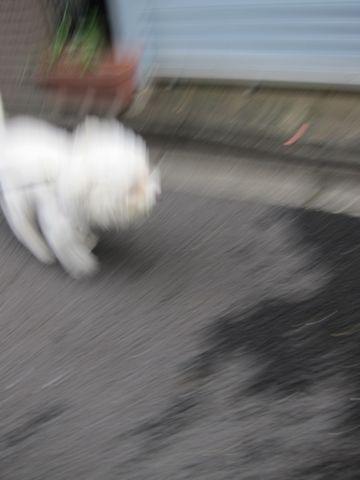 ホテル犬おあずかりペットホテル文京区ビションフリーゼトリミングフントヒュッテ東京トリミングサロンビションカット関東hundehutteかわいいビション176.jpg