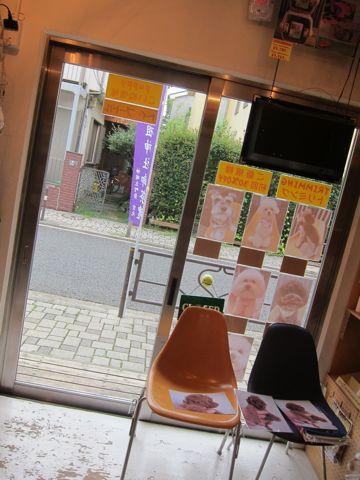 トイ・プードルレッドメス小ぶり小さいこいぬおんなのこティーカッププードルレッドメスタイニープードルティーニーこいぬ情報フントヒュッテ東京hundehutte15.jpg