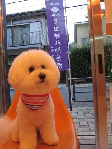 ホテル犬おあずかりペットホテル文京区ビションフリーゼトリミングフントヒュッテ東京トリミングサロンビションフリーゼまるくカット関東hundehutteペットサロン65.jpg