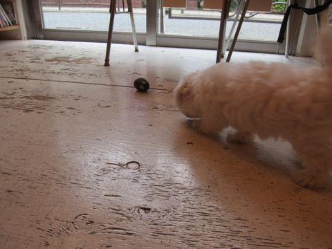 ビションフリーゼフントヒュッテ東京かわいいビションフリーゼこいぬ関東子犬文京区ペットサロンhundehutteトリミングカットモデルビションフリーゼ画像Bichon Frise44.jpg