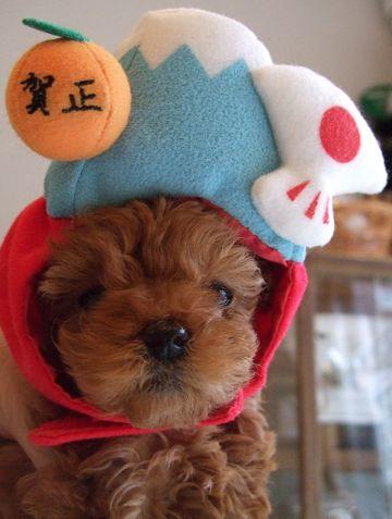トイプードルフントヒュッテ東京かわいいトイプーこいぬ関東子犬文京区hundehutteトイ・プードル画像Toy Poodle1.jpg