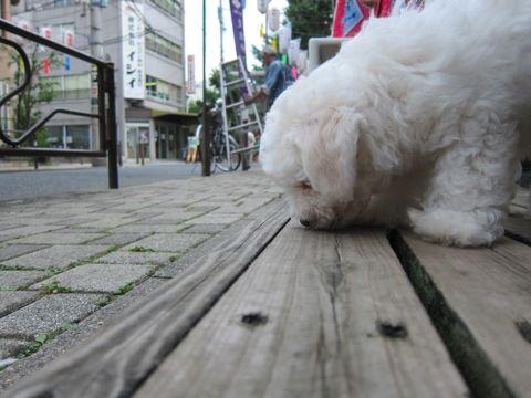 ビションフリーゼフントヒュッテ東京かわいいビションフリーゼこいぬ関東子犬文京区ペットサロンhundehutteトリミングカットモデルビションフリーゼ画像Bichon Frise162.jpg