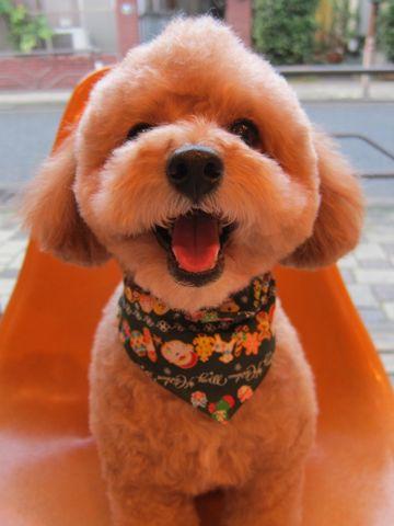 トイ・プードルトリミング文京区フントヒュッテナノオゾンペットシャワー使用トリミングサロン東京犬歯みがき犬デンタルケアhundehutteトイプードルカット駒込12.jpg