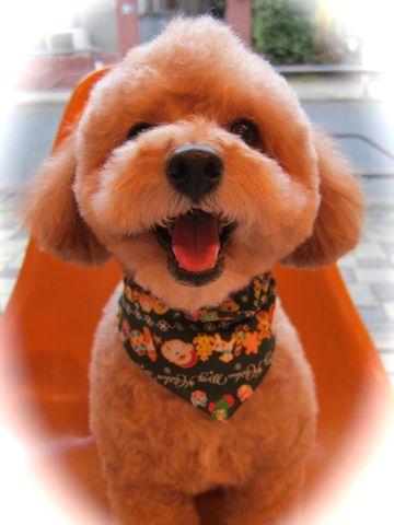 トイ・プードルトリミング文京区フントヒュッテナノオゾンペットシャワー使用トリミングサロン東京犬歯みがき犬デンタルケアhundehutteトイプードルカット駒込13.jpg