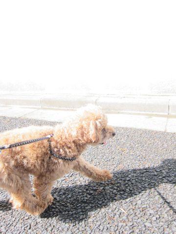 トイ・プードルトリミング文京区フントヒュッテナノオゾンペットシャワー使用トリミングサロン東京犬歯みがき犬デンタルケアhundehutteトイプードルカット駒込17.jpg