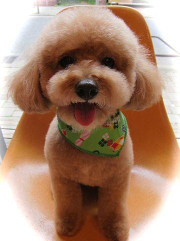 トイ・プードルトリミング文京区フントヒュッテナノオゾンペットシャワー使用トリミングサロン東京犬歯みがき犬デンタルケアhundehutteトイプードルカット駒込30.jpg