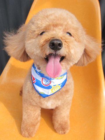 トイ・プードルトリミング文京区フントヒュッテナノオゾンペットシャワー使用トリミングサロン東京犬歯みがき犬デンタルケアhundehutteトイプードルカット駒込32.jpg