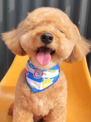 トイ・プードルトリミング文京区フントヒュッテナノオゾンペットシャワー使用トリミングサロン東京犬歯みがき犬デンタルケアhundehutteトイプードルカット駒込33.jpg