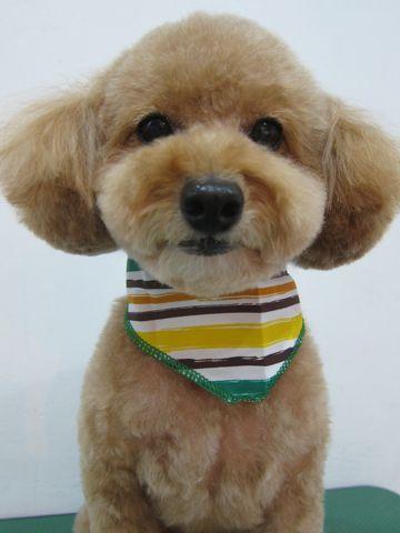 トイ・プードルトリミング文京区フントヒュッテナノオゾンペットシャワー使用トリミングサロン東京犬歯みがき犬デンタルケアhundehutteトイプードルカット駒込43.jpg
