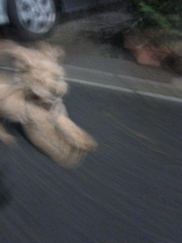 ホテル犬おあずかりペットホテル文京区トイプードルトリミングフントヒュッテ東京トリミングサロン関東hundehutteペットサロントイプードルテディベアカット13.jpg