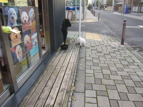 ビションフリーゼフントヒュッテ東京かわいいビションフリーゼこいぬ関東子犬文京区ペットサロンhundehutteトリミングカットモデルビションフリーゼ画像Bichon Frise185.jpg