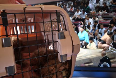 トイ・プードルレッドメス小ぶり小さいこいぬおんなのこティーカッププードルレッドメスタイニープードルティーニーこいぬ情報フントヒュッテ東京hundehutte23.jpg