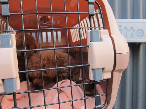 トイ・プードルレッドメス小ぶり小さいこいぬおんなのこティーカッププードルレッドメスタイニープードルティーニーこいぬ情報フントヒュッテ東京hundehutte26.jpg