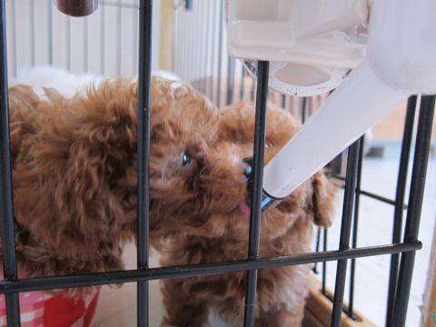 トイ・プードルレッドメス小ぶり小さいこいぬおんなのこティーカッププードルレッドメスタイニープードルティーニーこいぬ情報フントヒュッテ東京hundehutte55.jpg